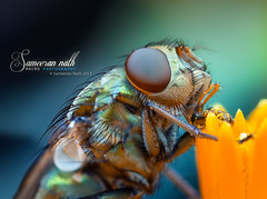 Fly feeding on pollen grains (Sameeran_Nath) Tags: india flower macro nature lens 50mm fly compound eyes tubes grains extension pollen reverse met f11 nath sameeran