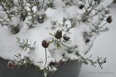 Frozen lavender (DeniseJC) Tags: winter snow plant france cold frozen january lavender pot