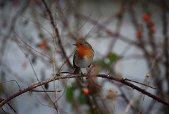 Robin (mpw1421) Tags: winter snow robin birds nikon essex boreham d60 rspb