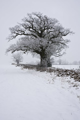 Contrast/Whiteout (desimage) Tags: winter england snow tree classic contrast oak day artistic des whiteout herts kingslangley flickrdiamond snowsacpe desimage desgould galleryoffantasticshots r