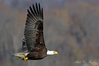 Bald Eagle In Flight (Haliaeetus leucocephalus)