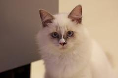 20160809-027 (Snowy Olaf) Tags: kitten britishlonghair       feliscatus  canon 5dmarkiii ef100400mm4556lis f4556