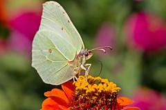 butterfly macro (dr.larsbergmann) Tags: macro closeup nature explored eos flickr outdoor summer beautiful animal bug butterfly fantastic fantasticnature