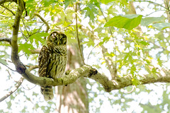 A napping barred owl (lxiao9990) Tags: oakhill tennessee unitedstates us radnorlake bird wildlife barred owl