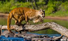 Paw of Balance (NaturesFan) Tags: cougar puma mountainlion cat bigcat kittycat kitty connection wildlife minnesota