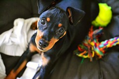 My little boy (radaellierica) Tags: dog pinscher art puppy babydog
