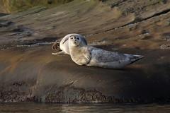 Phoque commun - Harbor seal (Maxime Legare-Vezina) Tags: mammals mammifere marine nautre wild wildlife animal fauna biodiversity canon sea