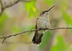 Female Ruby-throated hummingbird (Henrietta Oke) Tags: rubythroatedhummingbird hummingbird rubythroated bird smallbird ontario nikon70200mmf28gedvrii wildlife nature wings feathers green bokeh