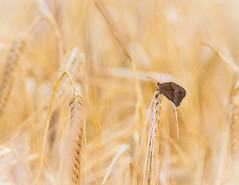 A little rest (microwyred) Tags: barley wildlife butterfly dunclentpool