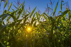As An Elephants Eye (nicklucas2) Tags: corn field landscape crop sun sunrise flare