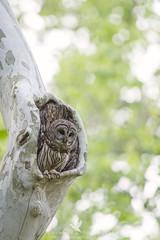 Hoo Goes There? (santosh_shanmuga) Tags: barred owl raptor predator birdofprey bird birding aves wild wildlife nature animal outdoor outdoors nikon d3s 500mm md maryland montgomery bethesda