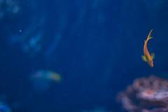 Princess (rmehdee) Tags: princess fish smallfish water underwater minimalism minimal min minimalist blue sea seaworld waterworld light deep deepblue deepbluesea canon orangefish orange fishy prettyfish dream dreamstate disneyland fairytale
