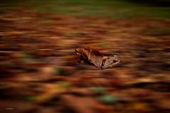 falling (G.hostbuster (Gigi)) Tags: leaf falling autumn ghostbuster