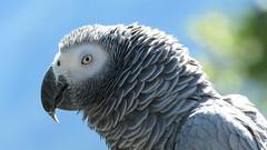 Perroquet gris du Gabon (bernard.bonifassi) Tags: bb088 06 alpesmaritimes 2016 thiery counteadenissa