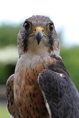 Falcoln _0031 (gofirecrest) Tags: bird falcon perlin peregrine merlin libertys canoneos7d raptor ef100mmf28lmacroisusm
