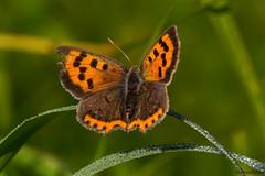 Feuerfalter  (novofotoo) Tags: blulinge butterfly falter geschlecht grn imago insekten kleinerfeuerfalter lepidoptera makro mnnchen natur ontogenese saisondimorphismus schmetterling sommergeneration tagfalter tiere green macro nature orange