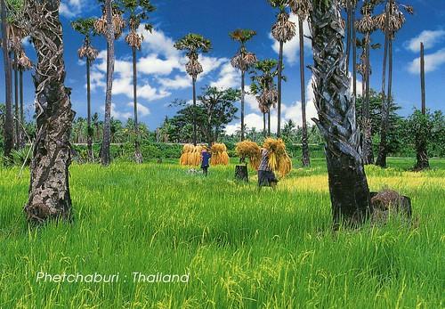 Thailand - Rice field and Palm trees side way to Hua Hin (Phetchaburi)
