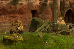 Father and son (Mighty Badaboom) Tags: lion lwe animal tier sugetier mammal zoo hannover lionbaby groskatze