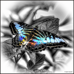 (2348) Papallona (Splash) (QuimG) Tags: splash retoc retoque retouch macro natura nature naturaleza papallona nikon quimg quimgranell joaquimgranell afcastell specialtouch obresdart