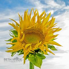 Sunshine (Beth Wode Photography) Tags: sunflower petals yellow flower yellowflower blueskies beth wode bethwode