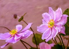 Purple.jpg (Patrik Gustafsson) Tags: texture purple pentax100mmmacro macro flower