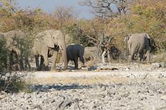 Namibia 2016 (343 of 486) (Joanne Goldby) Tags: africa africanelephant august2016 elephant elephants etosha etoshanationalpark explore loxodonta namiblodgesafari namibia safari