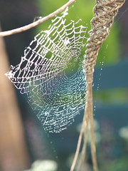 spiders web-8210097 (E.........'s Diary) Tags: spider web water droplet eddie rossolympusomdem5markiiscotlandaugust2016newbu rossolympusomdem5markiiscotlandaugust2016newburghfifescotland