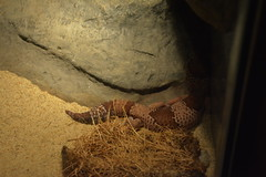 Portland, OR - Washington Park - Oregon Zoo - Africa - Predators - African Fat-tailed Gecko (jrozwado) Tags: northamerica usa oregon portland zoo washingtonpark reptile gecko predator serengeti africa