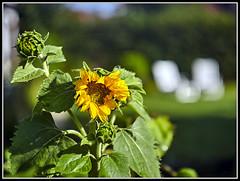 L8002988  -   Sonnenblume  -  Bokeh (Max-Friedrich) Tags: leica leicam8 summarit 50mm leitz outdoor bokeh
