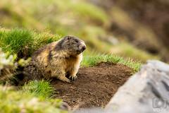 Murmeltier (MD-Pic) Tags: murmeltier marmot schweiz swiss switzerland tier tamron 150600 d7100 nikon berge alpen alps sommer animal