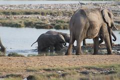 Namibia 2016 (356 of 486) (Joanne Goldby) Tags: africa africanelephant august2016 elephant elephants etosha etoshanationalpark explore loxodonta namiblodgesafari namibia safari