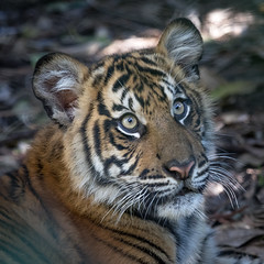 Nelson @ 7 Months (ToddLahman) Tags: nelson teddy joanne sandiegozoosafaripark safaripark sumatrantiger babysumatrantiger canon7dmkii canon canon100400 tigers tiger tigertrail tigercub escondido