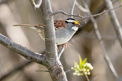 2016 White-throated Sparrow 6 (DrLensCap) Tags: whitethroated sparrow montrose point bird sanctuary chicago illinois il robert kramer