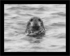 Atlantic Grey Seal (lyndaha) Tags: seal hilbreisland greyseal nature animal wildlife
