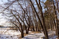 Icy Path (Jori Samonen) Tags: icy path footpath winter snow tree plant bridge seurasaari meilahti helsinki finland nikon d3200 180550 mm f3556 nikond3200 180550mmf3556