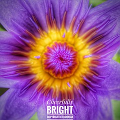 Cheerfully Bright (tomquah) Tags: sonyrx100 sony nature waterlily lily plant flowers vivid yellow purple closeup macro floral cheerful tomquah mmos rx100m2
