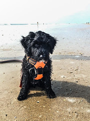 Beach Gabby 01 (crisp4dogs) Tags: gabby pwd portuguesewaterdog puppy crisp4dogs acrisp beach water nc topsailbeach