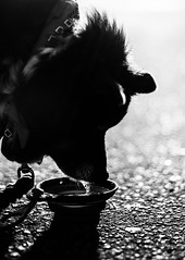 Quench up (christinemcroberts) Tags: thirsty warm outdoors outside toronto nikond750 50mmf14 50mm nikkor50mmf14 nikkor nikon heat hot summer water thirst sip drink pets pet dogs dog white black blackandwhite