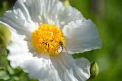 Alnwick Castle Gardens (Simon Caunt) Tags: nikond800 d800 afsnikkor2470mmf28 closeup bokeh flora floraandfauna vivid