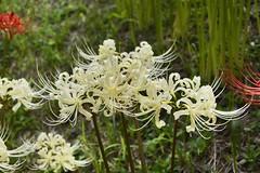 White Spider Lily blossom , Japan. (marcelo.nakazaki) Tags: floraao blossom outono spiderlily lirioaranha asia aichiken nagoya japan japon japao nature natureza whitespiderlily