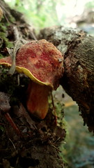 Fairy Cap (TevaMayer) Tags: orange texture mushroom leaves yellow creek moss log woods bumpy fungi fairy cap fungus toadstool