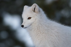 Arctic Fox_IMG_2282 (yukonchris) Tags: snow canada nature beauty natural north yukon wildanimal northern taiga unspoiled arcticfox northof60 southernyukon canonef400mmf56lusm cityofwhitehorse vulpeslagopus canon7d yukonwildlifepreserve whitehorsesouthernlakesregion