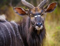 Suspicious Nyala (Peter J Moore) Tags: buck herbivore nyala matchpointwinner beautifulworldchallenges matchpointtournamentwinner mpt222
