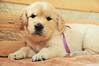 Sakar - 26 days : ) (.:: Maya ::.) Tags: dog baby puppy golden 26 retriever дни сакар mayaeye mayakarkalicheva маякъркаличева