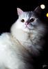 Mina na Noite (Photo Ferreira) Tags: brazil brasil cat canon gato 5d santacatarina whitecat felipe ferreira joaçaba gatobranco 5dmarkii felipeferreira