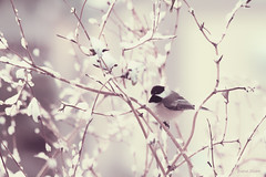 Chickadee..dee..dee..Winter is Here! (DigiDi) Tags: winter snow snowstorm chickadee bej contemporaryartsociety welcometowinter digidi magicunicornverybest exoticimage artcityart