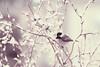 "Chickadee..dee..dee..Winter is Here! (DigiDi) Tags: winter snow snowstorm chickadee bej contemporaryartsociety welcometowinter digidi magicunicornverybest ""exoticimage"" artcityart"