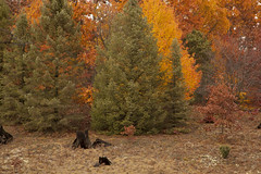 Conifers and Hardwoods in Autumn (kevin kludy) Tags: autumn beautiful forest canon colorful michigan foliage stumps conifers hardwoods oceanacounty