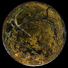 The planet of the big oak I - 4866 (opaxir) Tags: tree fall oak aerial tuscany kap toscana quercia rusellae