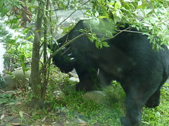 Asian Black Bear (Ursus thibetanus) at Taipei Zoo ( - ), Taiwan (Loeffle) Tags: bear zoo taiwan taipei taipeh blackbear br  taipeizoo  kragenbr ursusthibetanus asianblackbear muzhazoo 112012